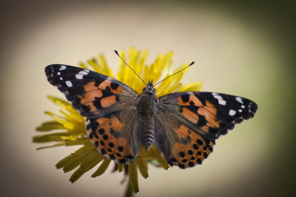 Tokfina tistelfjärilar