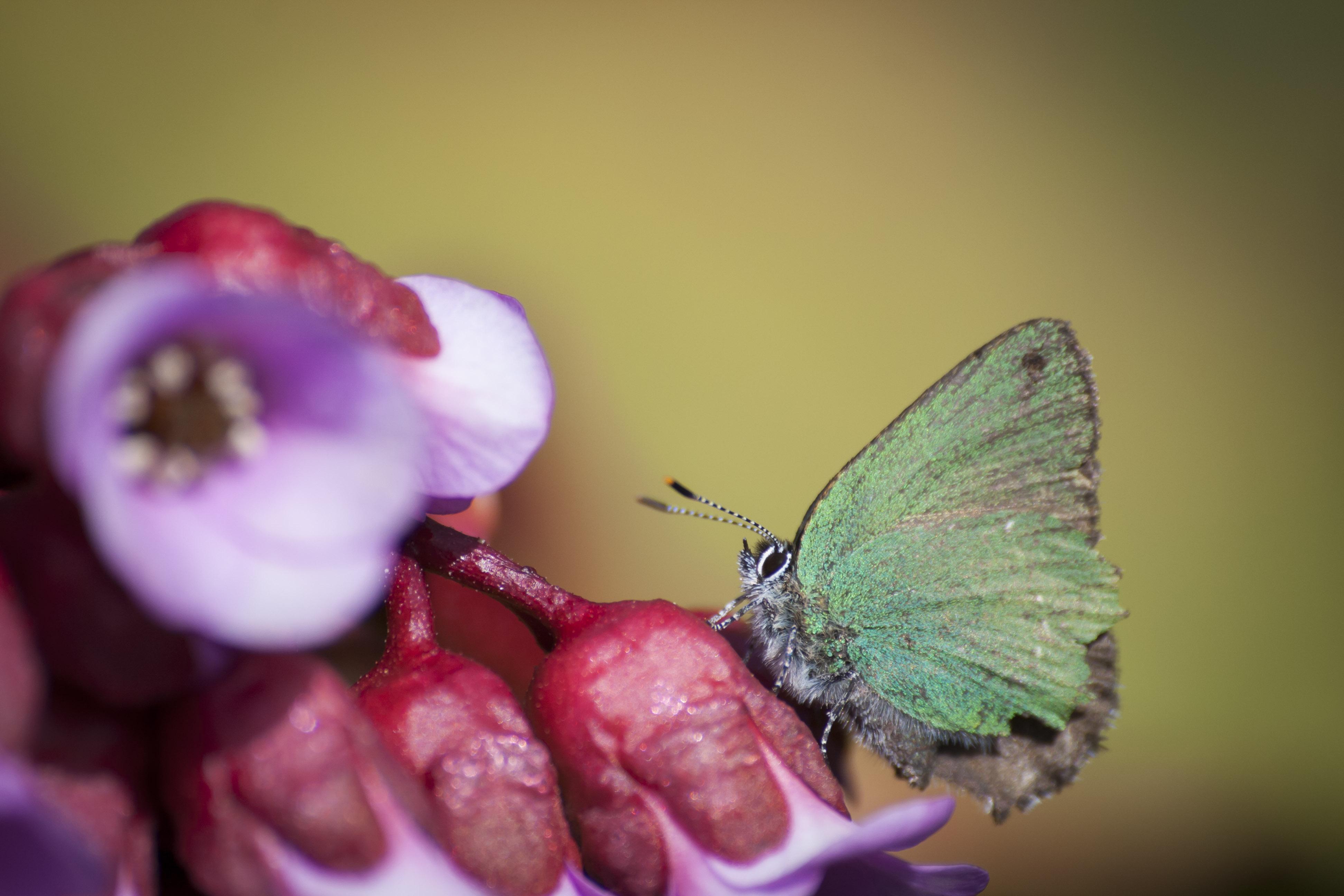 Den lurviga grönsnabbvingen